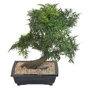 Künstliche Zimmerpflanze Bonsai Aralia 50 cm
